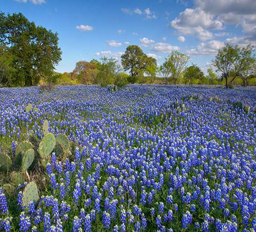 Field of Texas Bluebonnets - Lupinus texensis