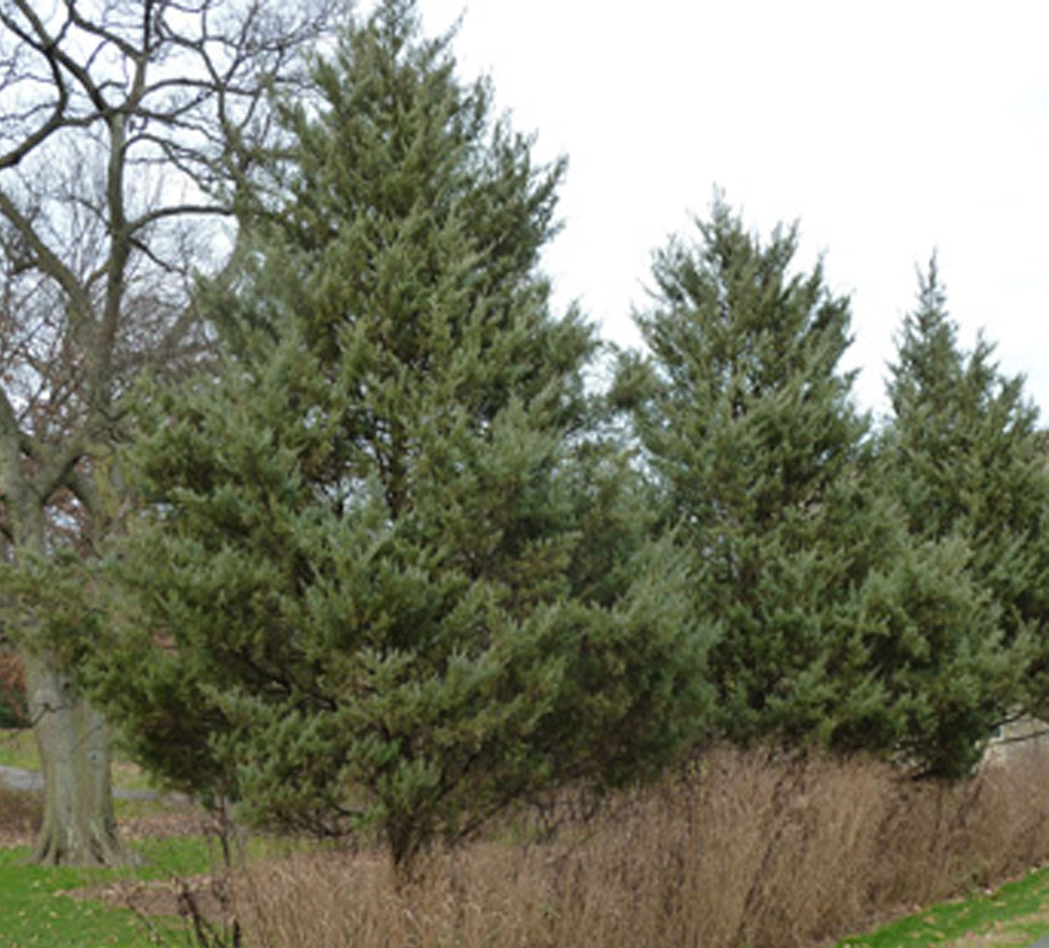 Cedar Tree - Juniperus virginiana