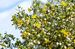 chaparral or creosote bush