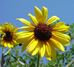 Sunflower - Helianthus annuus